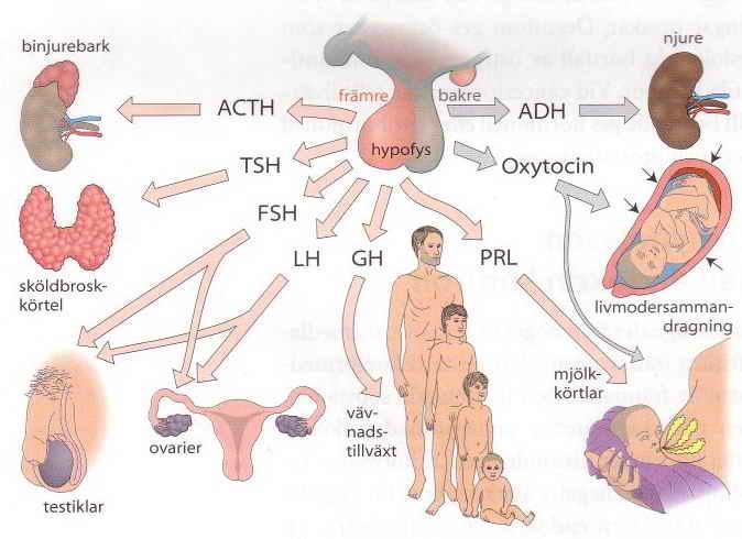 anabola steroider biverkningar spermier
